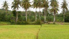 Utforska risfält och mangroveskogar med skoter på Koh Yao Nois västkust.