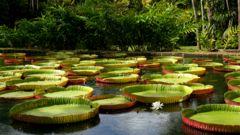 Mauritius är känt för dina enorma näckrosor.