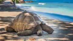 Jättesköldpadda på Seychellerna.