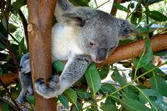 Charmig koala i Queensland.