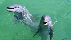 Delfiner på Isla Mujeres.